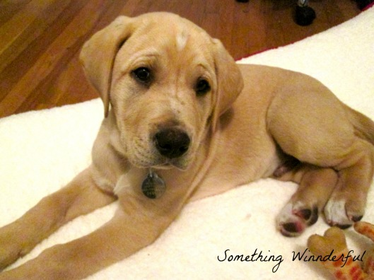 Something Winnderful's puppy the great Gatsby